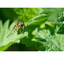 Hoverfly on a nettle Photographic Print