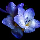 1477-BLUE FREESIA by elvira1
