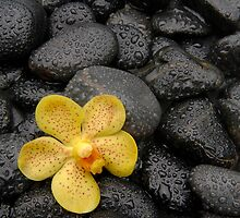 Orchid on Black Pebbles by ntd0277