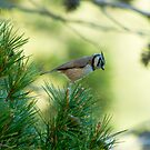 crested tit by Steve Shand