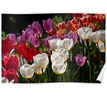 Spring. Tulips. Poster
