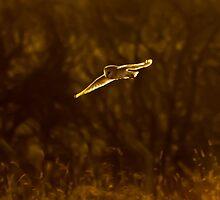 barn owl by Steve Shand