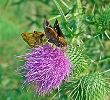 Zabulon Skipper Butterfly - Courting Pair - Poanes zabulon by MotherNature