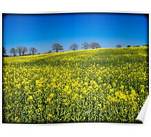 Rapeseed Field (Brassica Napus) Poster