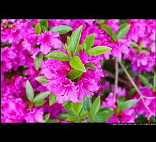Rhododendron - Hinode Giri - Upper Brookville, New York by © Sophie W. Smith