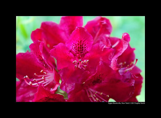 Rhododendron Nova Zembla - Upper Brookville, New York  by © Sophie W. Smith