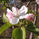 Apple Blossom by teresa731