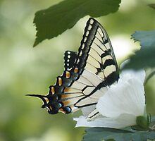 Tiger Swallowtail by TNsarajean