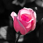 Pink Rose Bud Black and White Background by ValeriesGallery