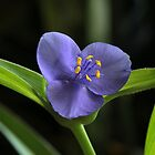 Blue Spiderwort by Lynn Gedeon