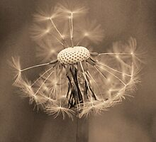 Vintage Dandelion Clock by DavidWHughes