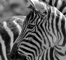 Zebra at Riverbanks Zoo by Debbie Moore