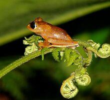 Boophis tasymena  -  Andasibe Madagascar by john  Lenagan