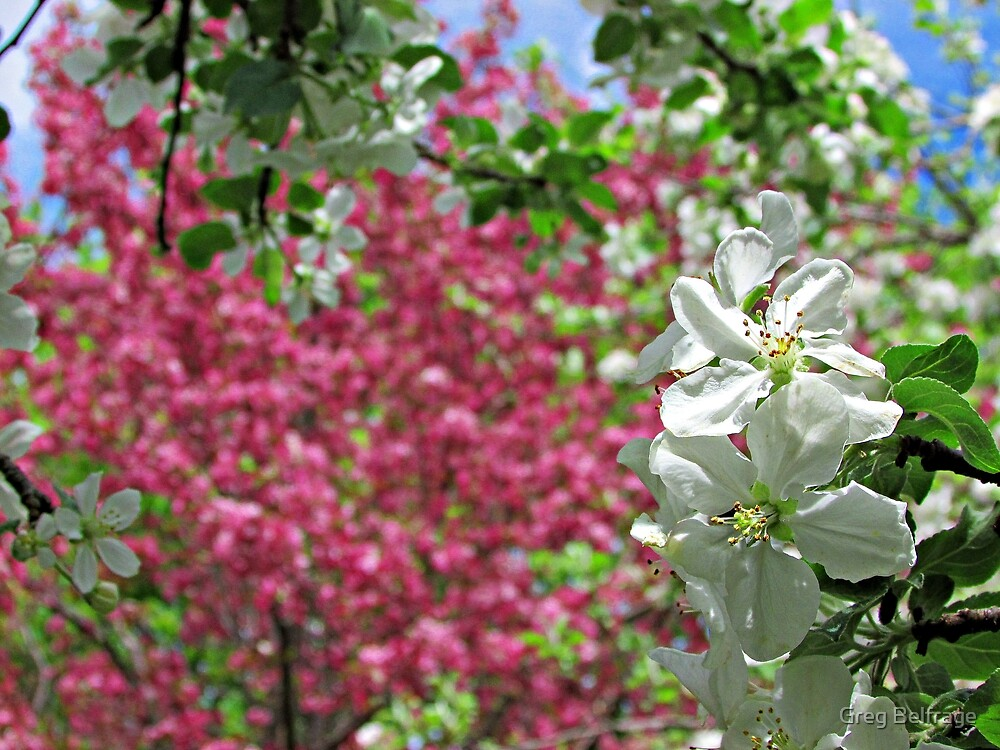 May Blossoms by Greg Belfrage