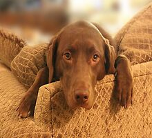 Cutie Pup - The world's Cutest Chocolate Lab by Dan  Wampler