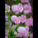 Campanula Medium - Calycanthema Pink - Upper Brookville, New York by © Sophie Smith