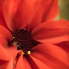 Red Daisy with Pollen by Silken Photography