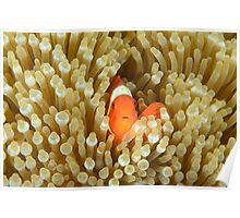 Spine-cheeked Anemonefish - Premnas biaculeatus Poster