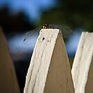 Cool Dude Dragonfly by Silken Photography