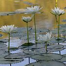 water lillies by Maree Costello