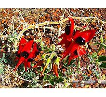 Sturt's Desert Pea Photographic Print