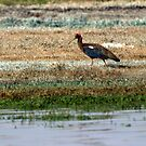 Red naped Ibis by magiceye