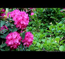Rhododendron - Furnivall's Daughter - Upper Brookville, New York by © Sophie W. Smith