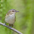 Red-eyed Vireo Among the Ferns. by Daniel Cadieux