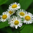 Eastern Daisy Fleabane Bouquet with a Tiny Visitor by Ron Russell
