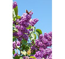 Lilac Bloom and Butterfly Photographic Print