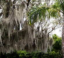 Spanish moss hangs from a tree in swampland Louisiana bayou, USA by PhotoStock-Isra