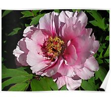 May Peony Poster