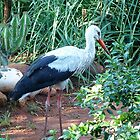 The White Stork in my garden by Maree Clarkson
