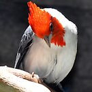 Red Crested Cardinal by Gayle Dolinger