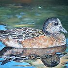 The American Wigeon by Teresa Dominici