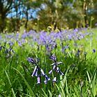 Bluebells  by Ian Mac