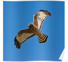 a flying brown goshawk Poster