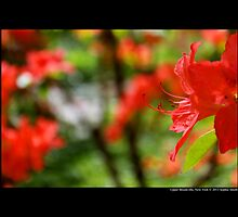 Rhododendron Griersonianum - Upper Brookville, New York  by © Sophie W. Smith