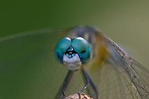 Dragonfly Face (BEST VIEWED LARGE) by TJ Baccari Photography
