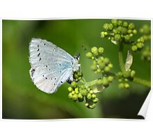Small Blue Butterfly Poster