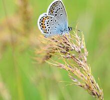 Polyommatus icarus (Çokgözlü Mavi) by Yıldız UZEL