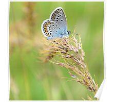 Polyommatus icarus (Çokgözlü Mavi) Poster