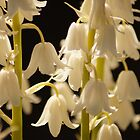 White Bells by Joyce Knorz