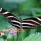 Zebra Longwing butterfly 2 by jozi1