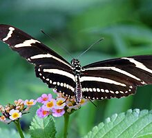 Zebra Longwing butterfly 2 by jozi1