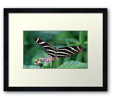 Zebra Longwing butterfly 2 Framed Print