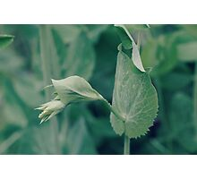the sweetest of peas...4~ Photographic Print