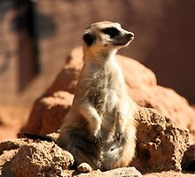 Curious Meerkat by Robert Phelps