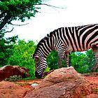 Grazing Zebra by doublerainbow29