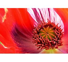 Poppy In Memoriam Photographic Print